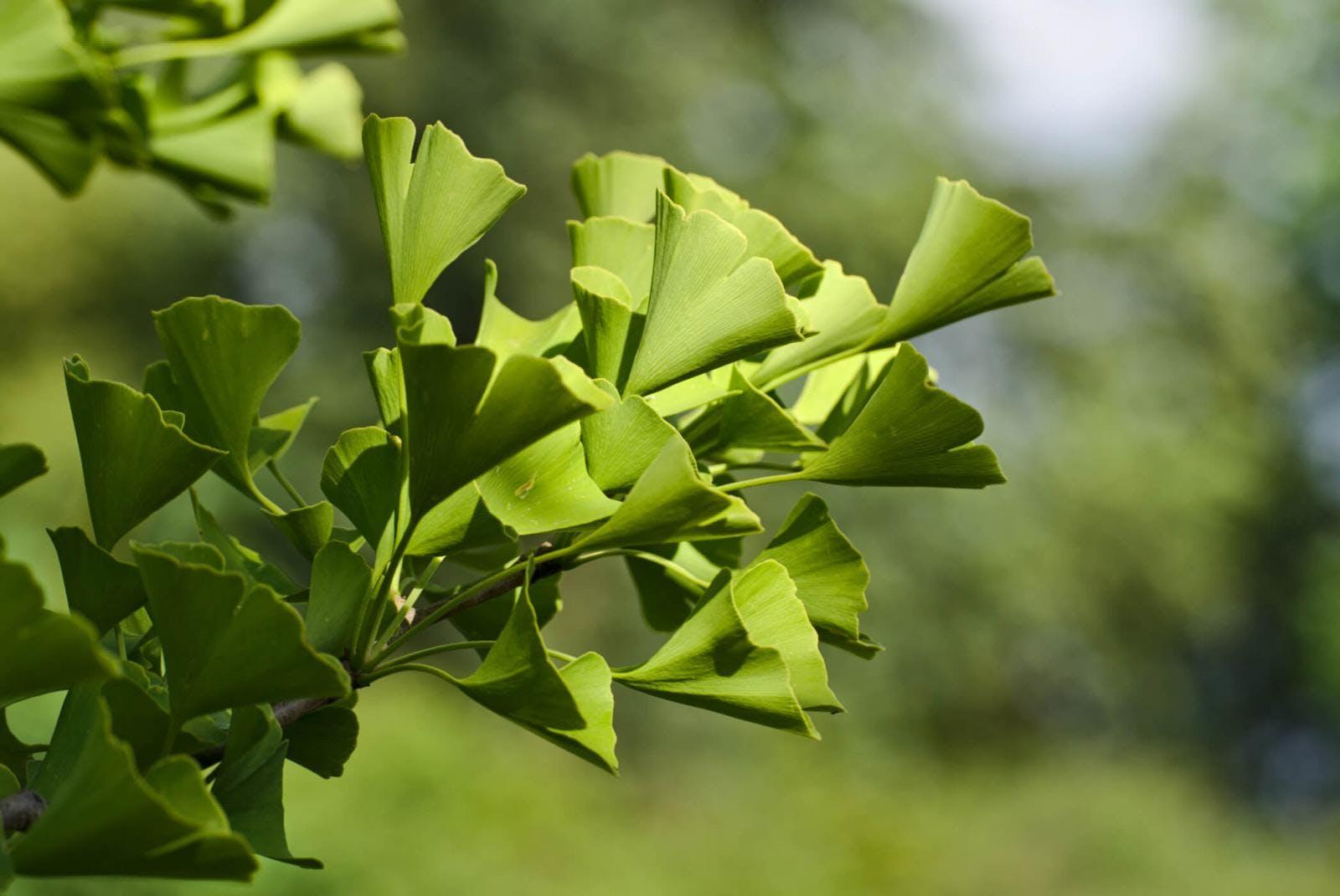 Obrazek przedstawiający liście miłorzębu japońskiego