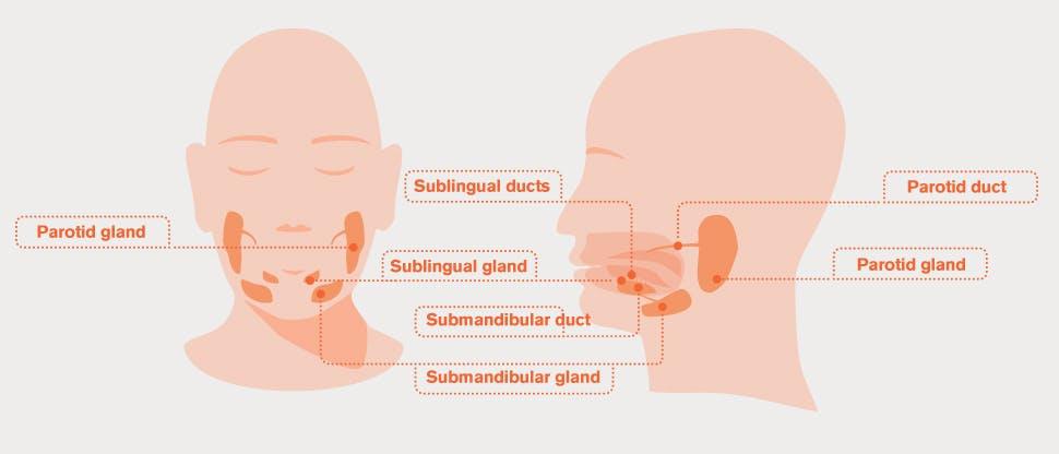Salivary gland diagram