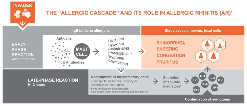 Allergic cascade and allergic rhinitis