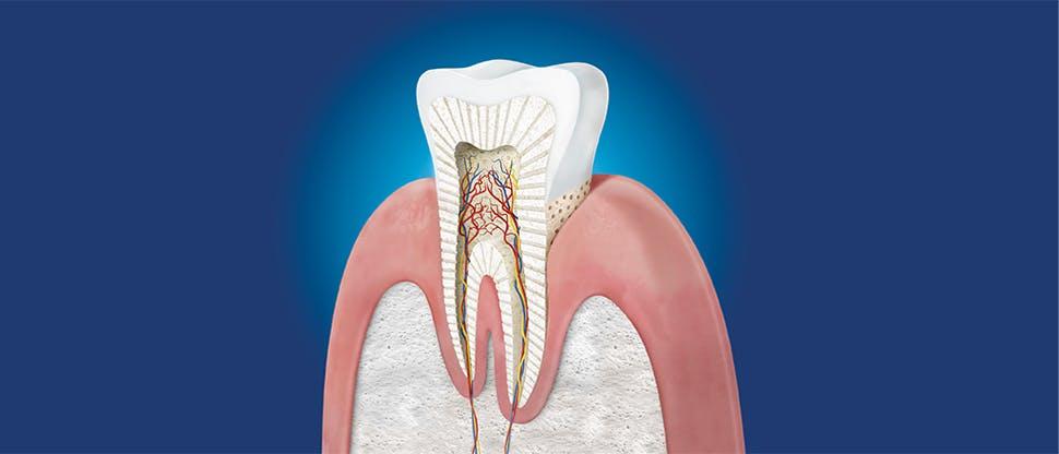 Sección transversal de un diente