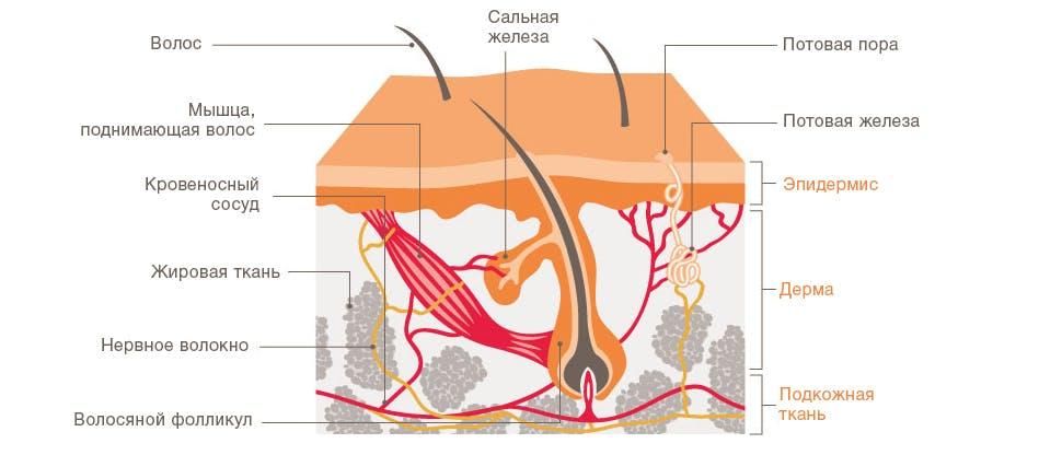 диаграмма, показывающая разные слои кожи