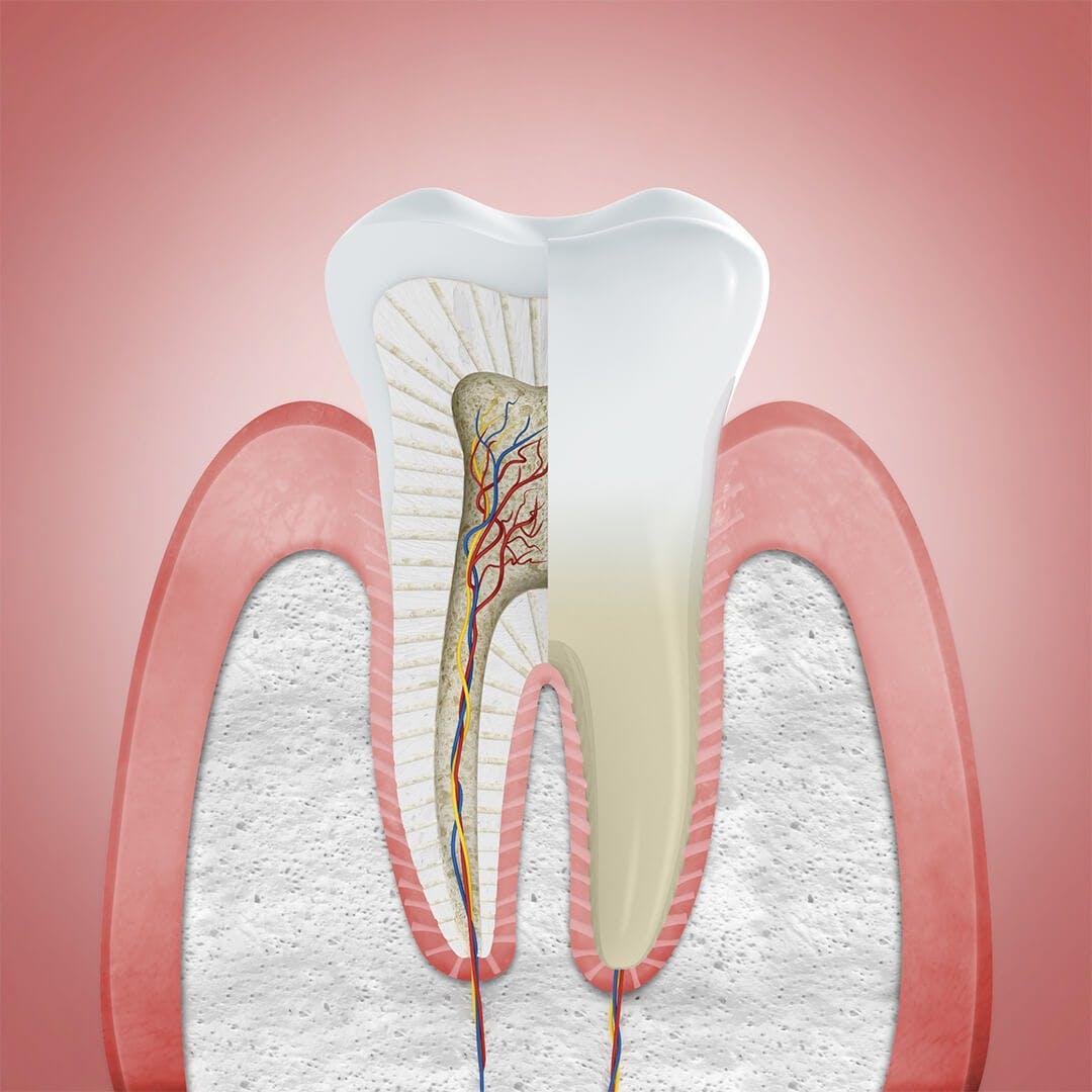 Ilustrace zobrazující zdravé dásně