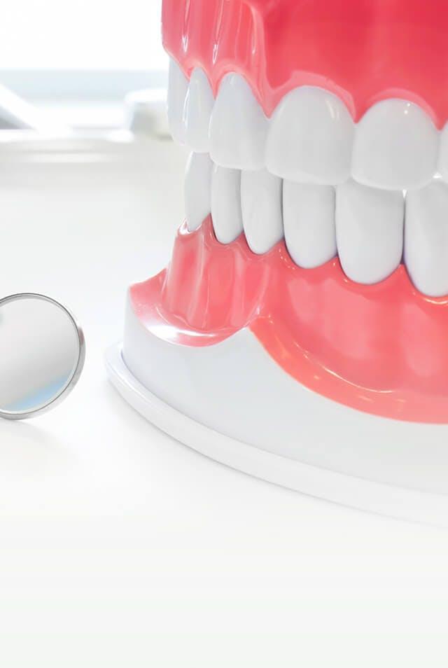 Модель челюсти с зубами