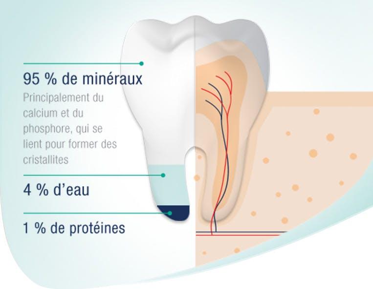 L'émail des dents est composé de 95% de minéraux, de 4% d'eau et de 1% de protéines