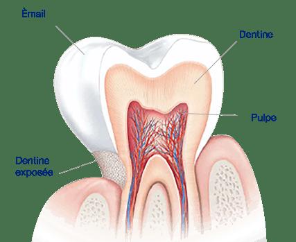 L'émail dentaire constitue la couche protectrice de nos dents.